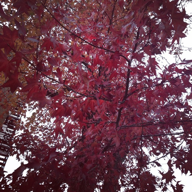 All the other trees on my street are bare. This one is the last one standing. #autumn #fall #redleaves ????